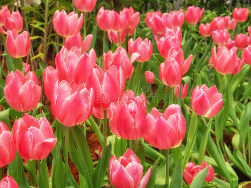 Όμορφο κόκκινο λουλούδι τουλιπών στον τομέα τουλιπών, ελατήριο-ανθίζοντας εγκαταστάσεις στοκ φωτογραφία