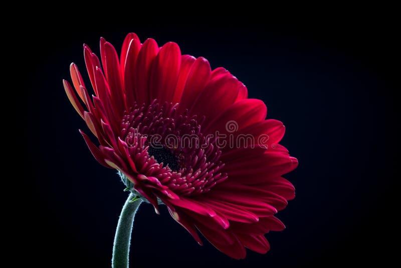 Όμορφο κόκκινο λουλούδι gerbera που απομονώνεται σε ένα μαύρο υπόβαθρο στοκ φωτογραφία με δικαίωμα ελεύθερης χρήσης