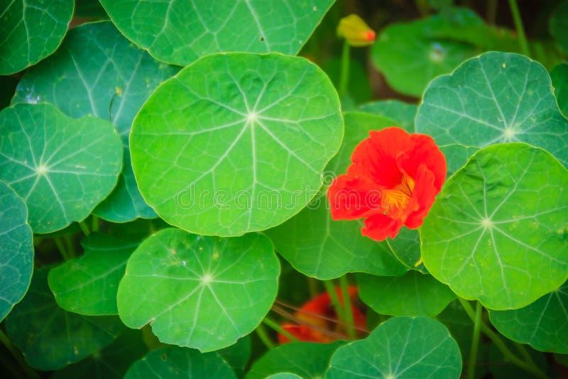 Όμορφο κόκκινο λουλούδι majus tropaeolum (nasturtium) με το πράσινο ro στοκ εικόνα