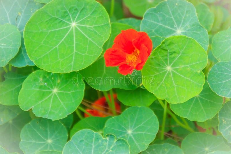 Όμορφο κόκκινο λουλούδι majus tropaeolum (nasturtium) με το πράσινο ro στοκ εικόνες