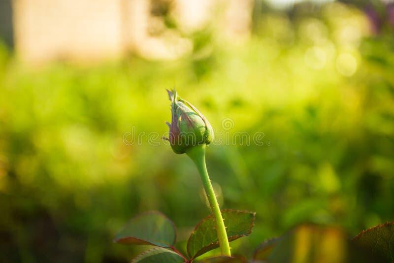 Όμορφο κόκκινο μπουμπούκι τριαντάφυλλου στο θερινό κήπο με το πράσινο υπόβαθρο στοκ εικόνες