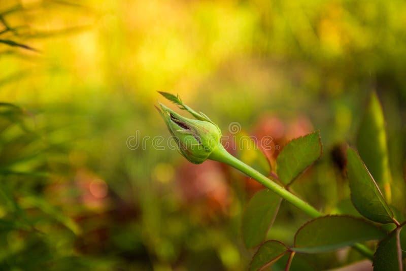 Όμορφο κόκκινο μπουμπούκι τριαντάφυλλου στο θερινό κήπο με το πράσινο υπόβαθρο στοκ εικόνα