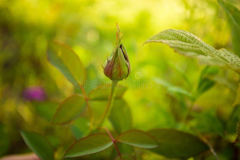 Όμορφο κόκκινο μπουμπούκι τριαντάφυλλου στο θερινό κήπο με το πράσινο υπόβαθρο στοκ φωτογραφία