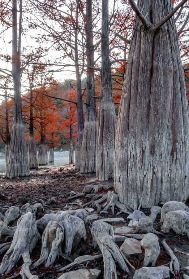 Όμορφο κόκκινο ξύλο κυπαρισσιών στη λίμνη βουνών σε Sukko από Anapa, Ρωσία Φυσικό τοπίο φθινοπώρου Βουνά Καύκασου Taxodium στοκ φωτογραφία με δικαίωμα ελεύθερης χρήσης