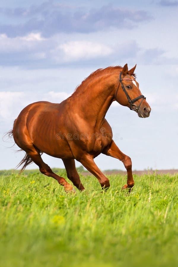 Όμορφο κόκκινο τρέξιμο επιβητόρων στοκ φωτογραφία