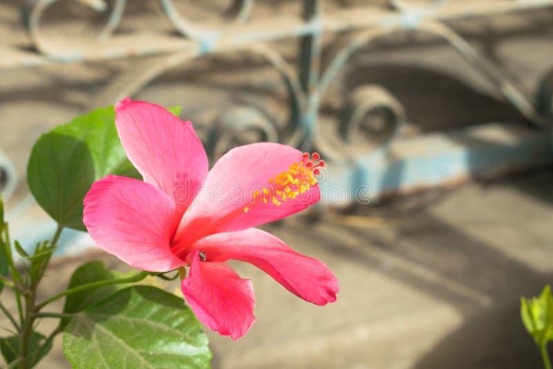 Όμορφο κόκκινο hibiscus λουλούδι σε έναν κήπο στοκ εικόνες