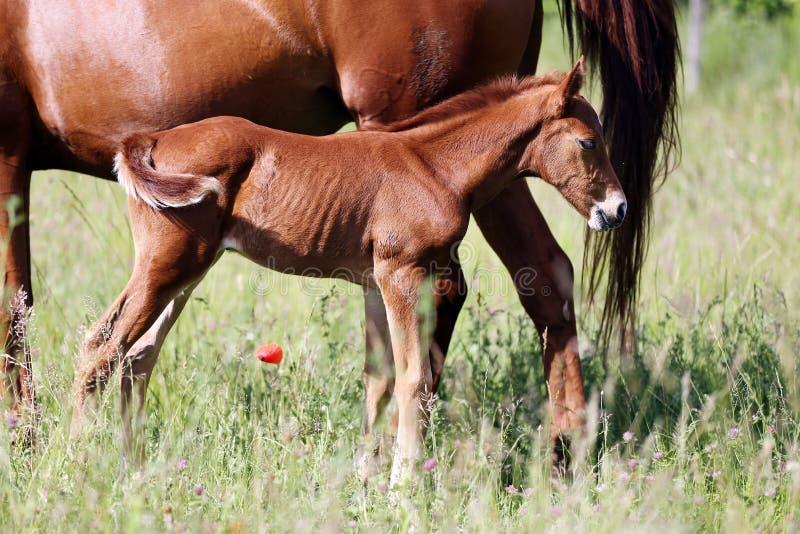 Όμορφο λίγο foal βόσκει στο λιβάδι με τη μητέρα της στοκ φωτογραφία με δικαίωμα ελεύθερης χρήσης