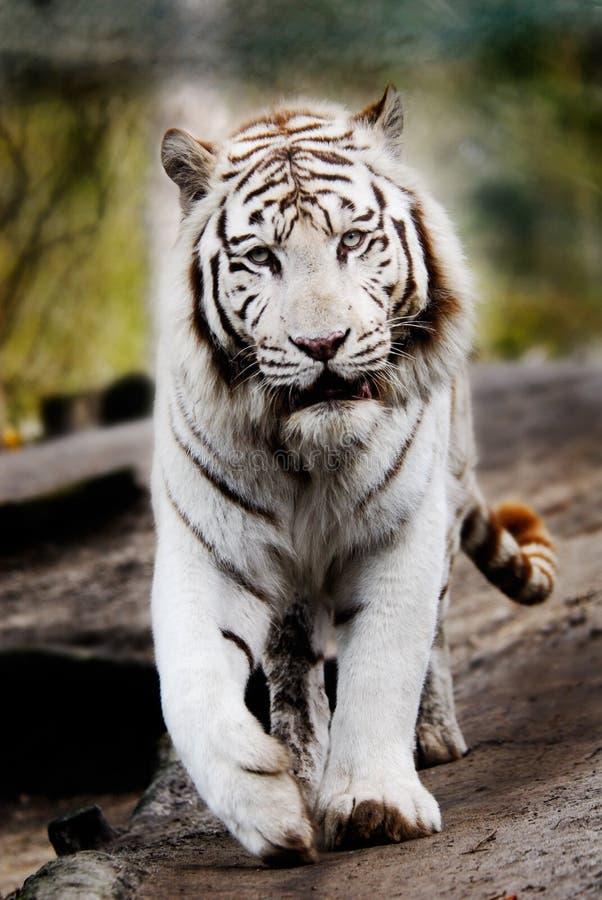 όμορφο λευκό τιγρών στοκ εικόνες
