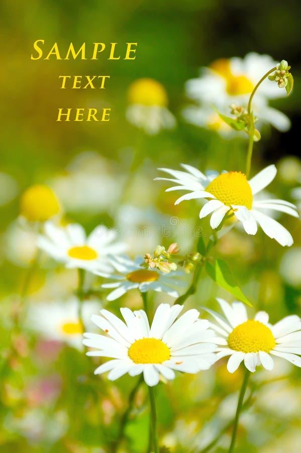 όμορφο λευκό chamomiles στοκ εικόνα με δικαίωμα ελεύθερης χρήσης