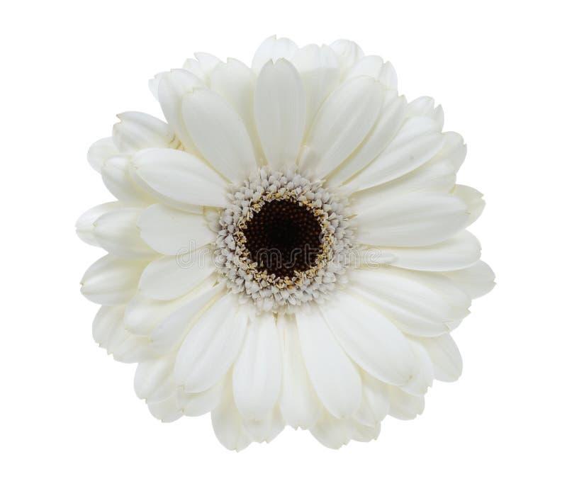 όμορφο λευκό gerbera στοκ φωτογραφία με δικαίωμα ελεύθερης χρήσης