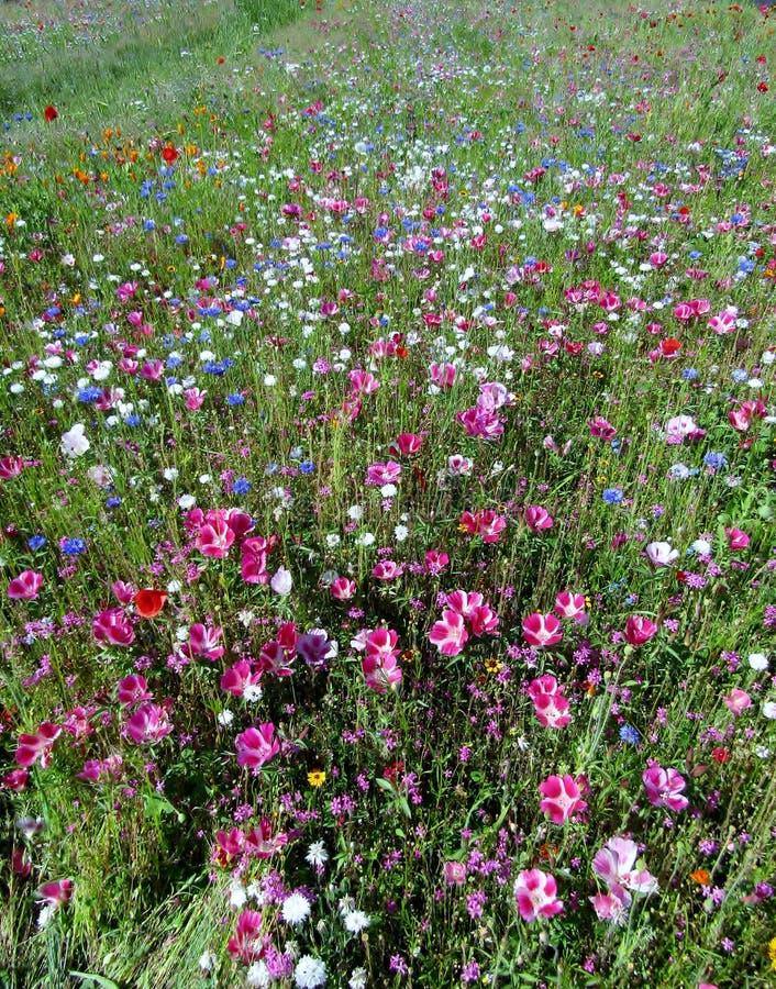 Όμορφο λιβάδι cornflowers και λουλουδιών παπαρουνών στοκ εικόνα