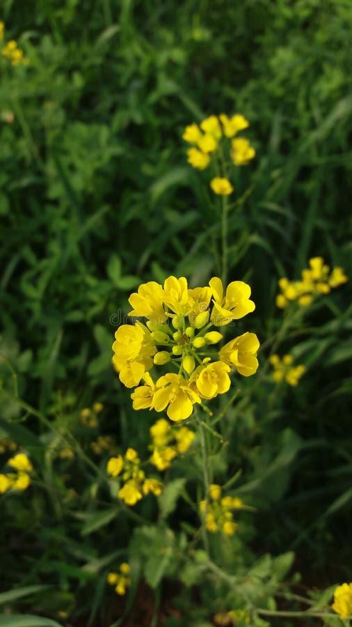 όμορφο λουλούδι κίτρινο στοκ φωτογραφία