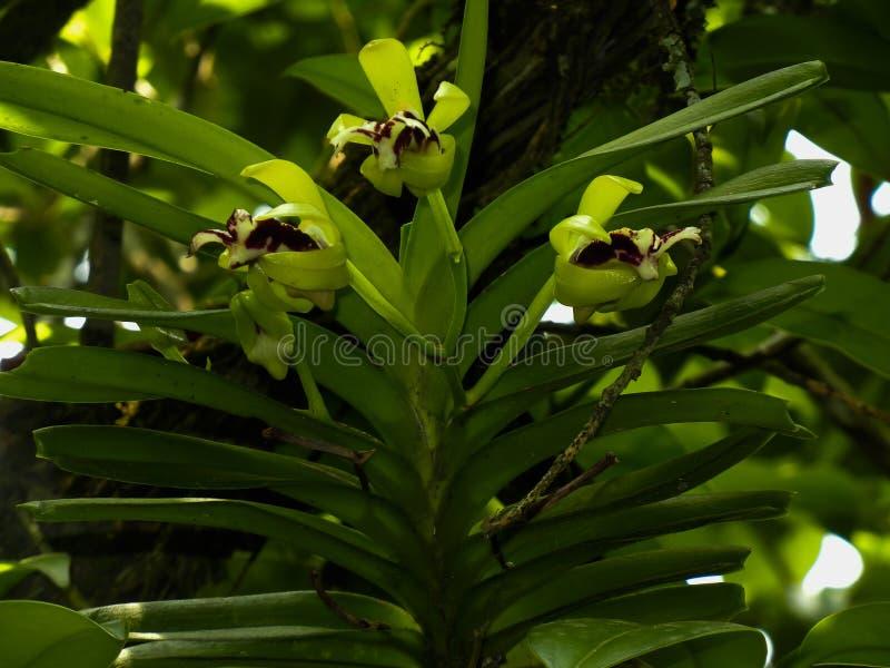 Όμορφο λουλούδι κινηματογραφήσεων σε πρώτο πλάνο ορχιδεών cristata της Vanda με τα φύλλα στοκ φωτογραφία με δικαίωμα ελεύθερης χρήσης