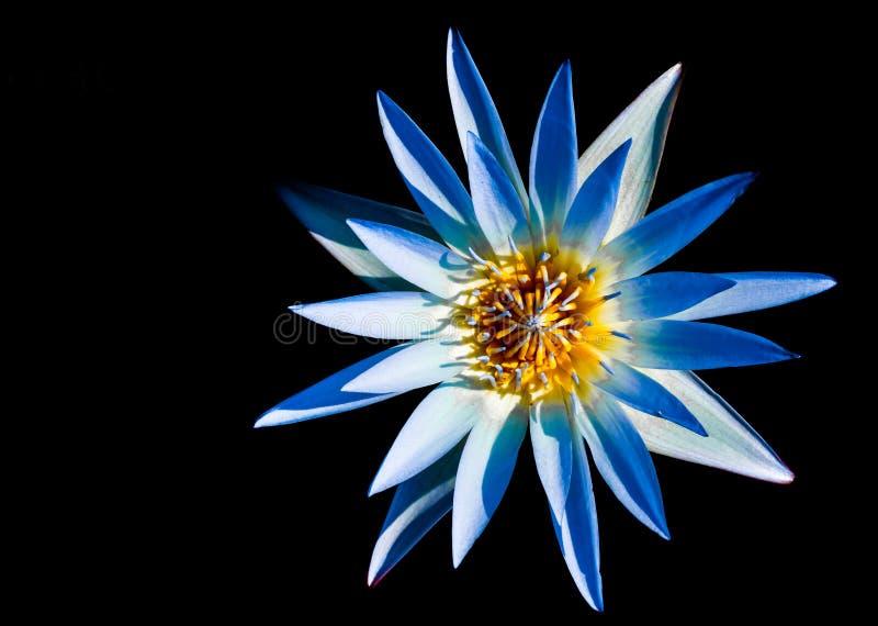 Όμορφο λουλούδι λωτού μπλε και κίτρινο στοκ εικόνες