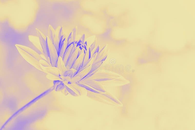 Όμορφο λουλούδι νταλιών σε ένα ελαφρύ υπόβαθρο r Κρητιδογραφιών πορτοκάλι που τονίζεται ιώδες στοκ φωτογραφία