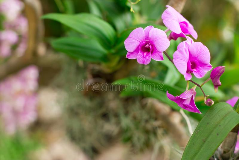 Όμορφο λουλούδι ορχιδεών, πορφυρή ορχιδέα στη ρόδινη ορχιδέα Λουλούδια στο αφηρημένο υπόβαθρο φύσης άνοιξη στοκ εικόνα