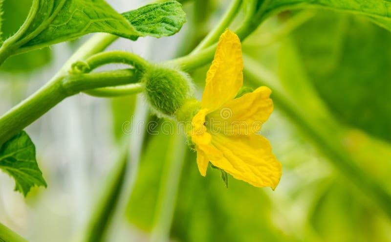 Όμορφο λουλούδι πεπονιού στο κλαδί που μεγαλώνει στον οργανικό κήπο στο καφέ Melon Latte, Uttaradit Ταϊλάνδης Έννοια της γεωργίας στοκ εικόνα με δικαίωμα ελεύθερης χρήσης