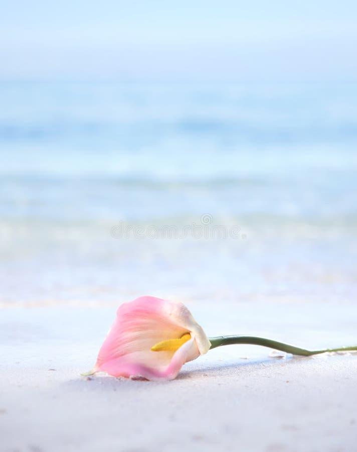 Όμορφο λουλούδι που βάζει στην υγρή άμμο στοκ εικόνες