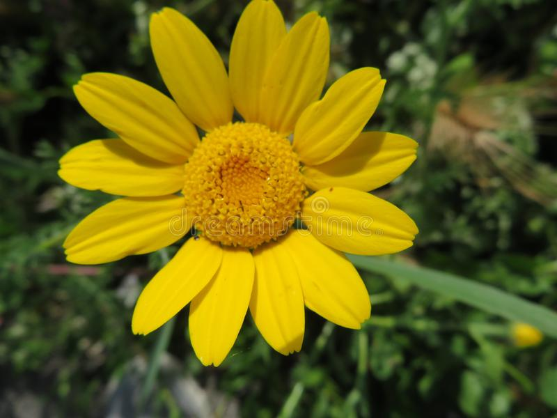 Όμορφο λουλούδι στα φωτεινά χρώματα και την εύγευστη μυρωδιά στοκ εικόνες
