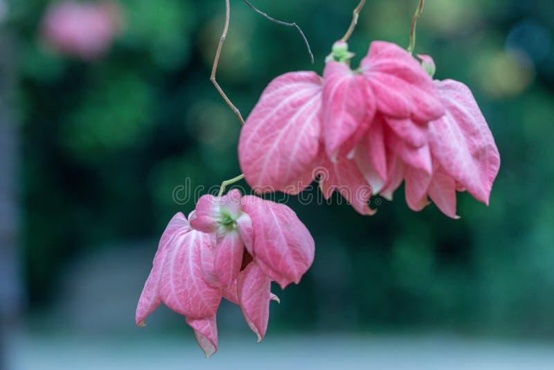 """Όμορφο λουλούδι της Donna σε έναν κήπο Mussaenda Philippica """"βασίλισσα Sirikit """" στοκ εικόνες"""