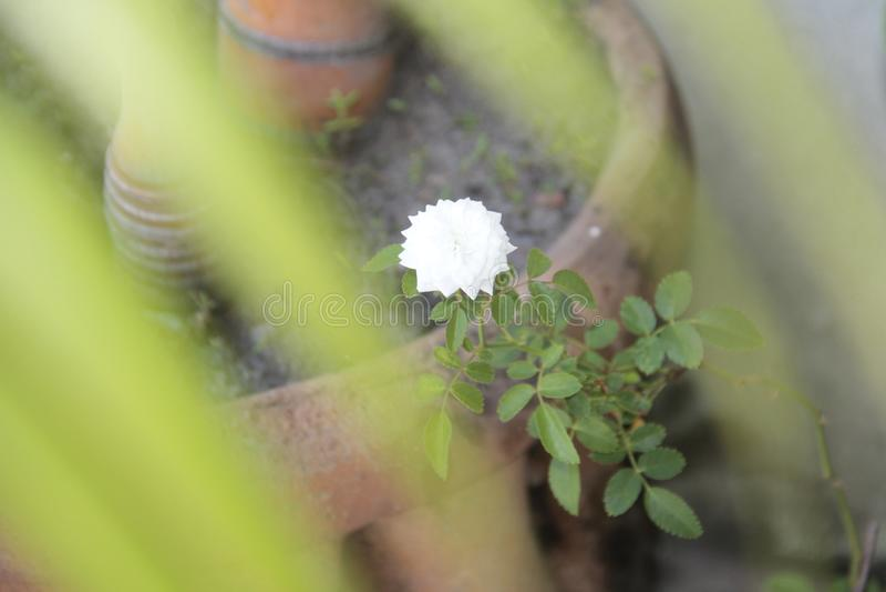 Όμορφο λουλούδι του κήπου μου στοκ φωτογραφία με δικαίωμα ελεύθερης χρήσης