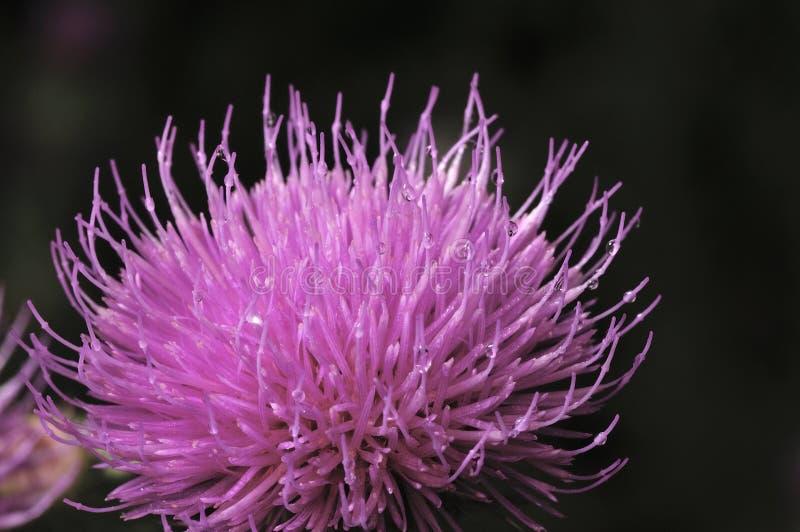 Όμορφο λουλούδι του πορφυρού κάρδου Ρόδινα λουλούδια του burdock Ακανθώδης κινηματογράφηση σε πρώτο πλάνο λουλουδιών Burdock Ανθί στοκ εικόνα