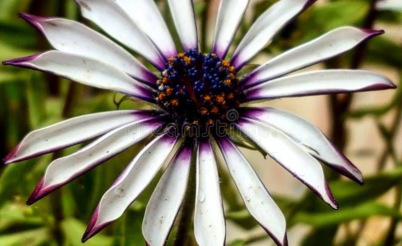 όμορφο λουλούδι Bella Flor στοκ φωτογραφία με δικαίωμα ελεύθερης χρήσης