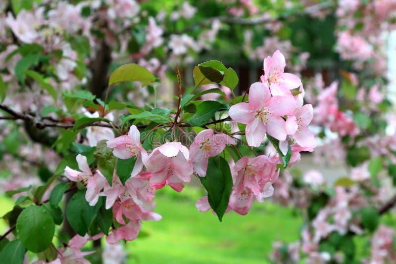Όμορφο μήλο άνοιξη λουλουδιών ανθίζοντας με τα σταγονίδια νερού μετά από τη βροχή στοκ εικόνα