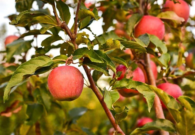 Όμορφο μήλο σε έναν κλάδο ενός δέντρου μηλιάς στοκ εικόνες