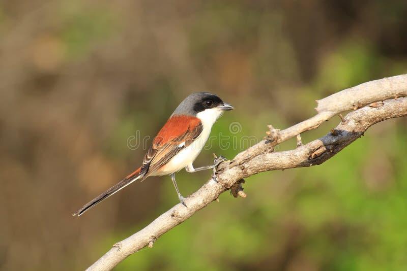 Όμορφο μαύρο και πορτοκαλί πουλί, με μακριά ουρά Shrike Lanius schach που σκαρφαλώνει σε έναν κλάδο στοκ εικόνα