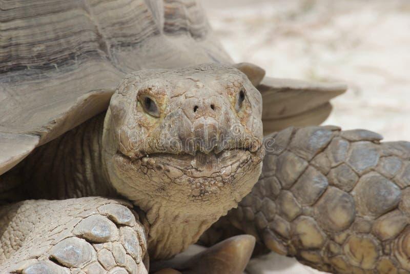 Όμορφο μεγάλο πορτρέτο μοναχικών χελωνών στοκ εικόνες