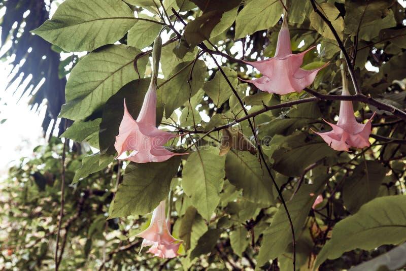 Όμορφο μεγάλο ρόδινο ή πορφυρό λουλούδι στο πράσινο υπόβαθρο φύσης Τροπικό της Χαβάης κόκκινο λουλούδι στοκ εικόνα με δικαίωμα ελεύθερης χρήσης