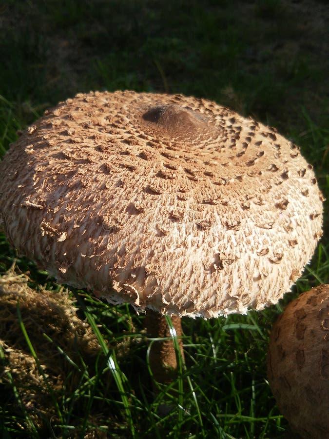Όμορφο μεγάλο brownmushroom στοκ εικόνες