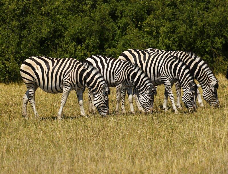Όμορφο με ραβδώσεις Waterbucks και Burchell στις αφρικανικές πεδιάδες στοκ εικόνα με δικαίωμα ελεύθερης χρήσης