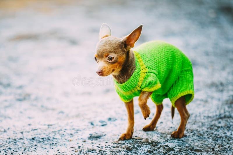 Όμορφο μικροσκοπικό σκυλί Chihuahua που ντύνεται επάνω στην εξάρτηση στοκ εικόνα