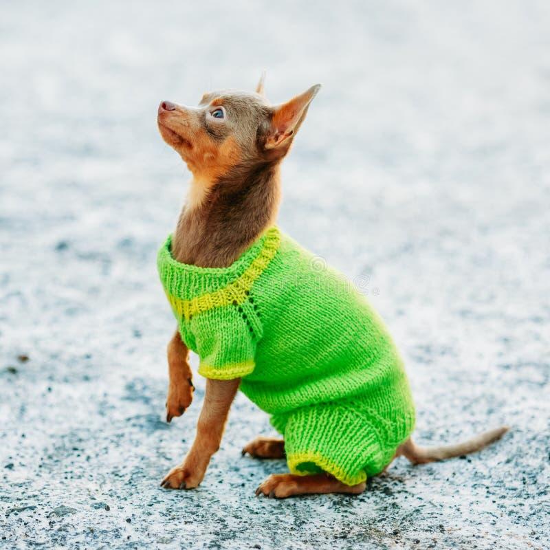 Όμορφο μικροσκοπικό σκυλί Chihuahua που ντύνεται επάνω στην εξάρτηση στοκ εικόνα με δικαίωμα ελεύθερης χρήσης