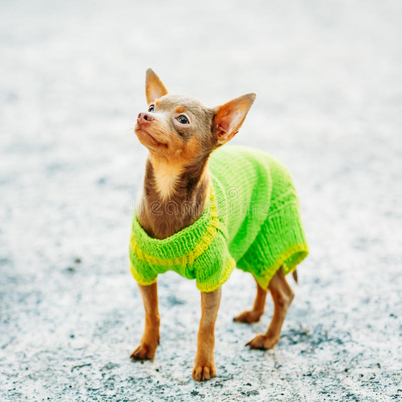 Όμορφο μικροσκοπικό σκυλί Chihuahua που ντύνεται επάνω στην εξάρτηση στοκ φωτογραφία