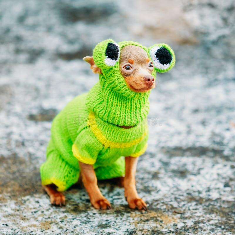 Όμορφο μικροσκοπικό σκυλί Chihuahua που ντύνεται επάνω στο βάτραχο στοκ φωτογραφία με δικαίωμα ελεύθερης χρήσης