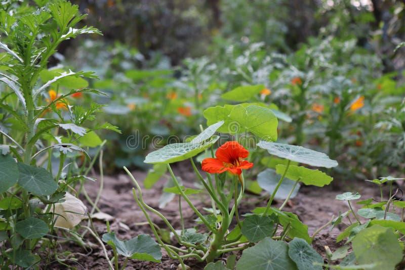 Όμορφο μικρό λουλούδι κήπων στοκ φωτογραφία με δικαίωμα ελεύθερης χρήσης