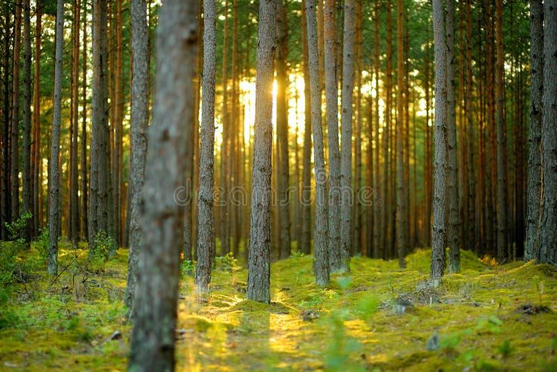 Όμορφο μικτό πεύκο και αποβαλλόμενο δάσος στη Λιθουανία στοκ φωτογραφία με δικαίωμα ελεύθερης χρήσης