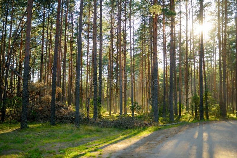 Όμορφο μικτό πεύκο και αποβαλλόμενο δάσος στη Λιθουανία στοκ εικόνα με δικαίωμα ελεύθερης χρήσης