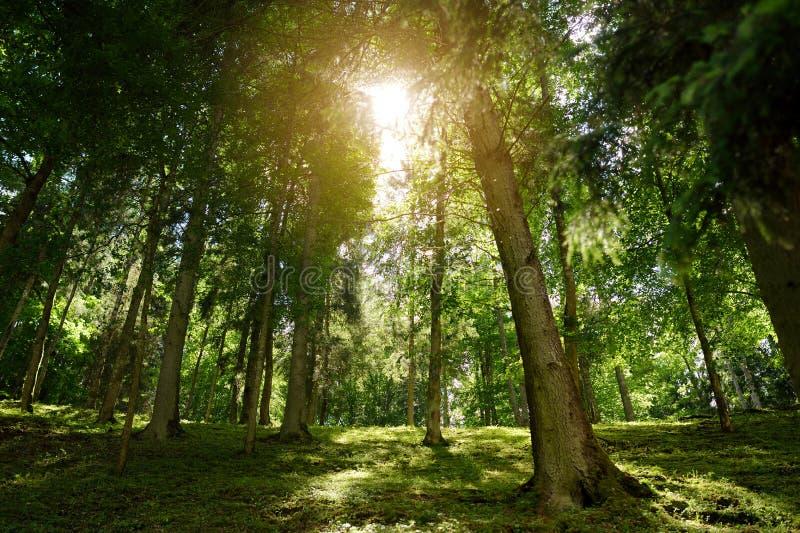 Όμορφο μικτό πεύκο και αποβαλλόμενο δάσος στη Λιθουανία στοκ φωτογραφίες