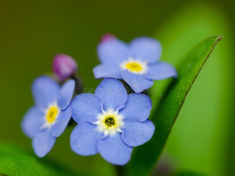 Όμορφο μπλε χρώμα ενός λουλουδιού που δεν ξεχνιέται στοκ εικόνες