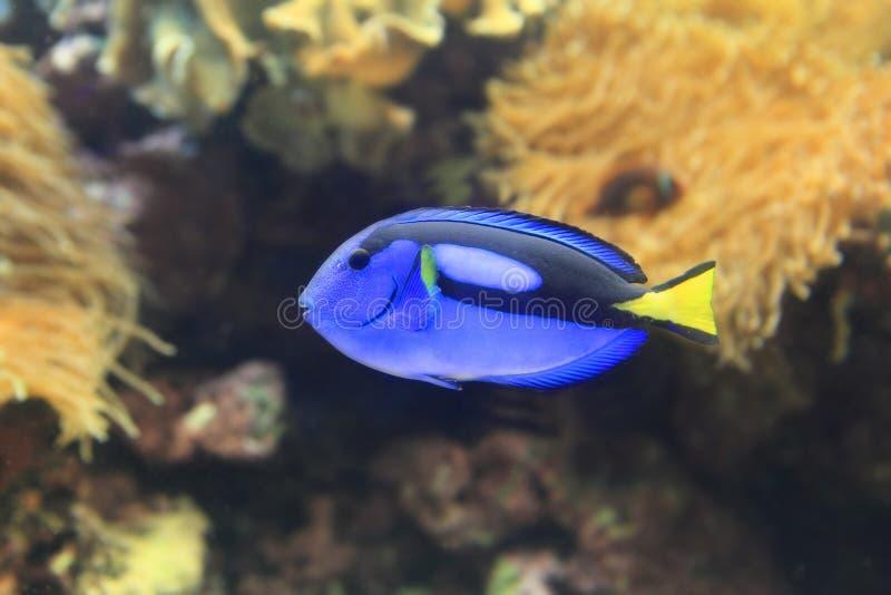 όμορφο μπλε paracanthurus hepatus στοκ φωτογραφίες