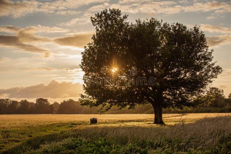 Όμορφο, μόνο δρύινο δέντρο στο ηλιοβασίλεμα σε Windsor στοκ φωτογραφίες με δικαίωμα ελεύθερης χρήσης
