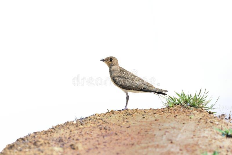Όμορφο νεανικό πουλί πουλιών (ασιατικός γλαρεολικός) που στέκεται στην άμμο στοκ φωτογραφίες με δικαίωμα ελεύθερης χρήσης