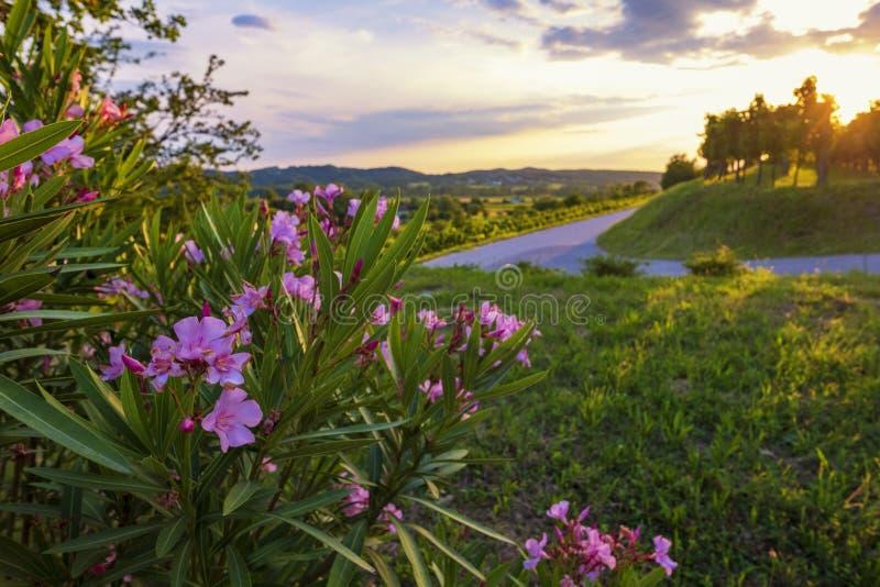 Όμορφο νότιο βράδυ με τα φωτεινές ανθίζοντας λουλούδια και την άμπελο στοκ εικόνες