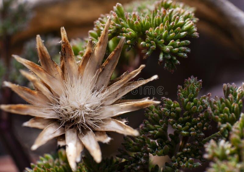 Όμορφο ξηρό λουλούδι και πράσινα succulents στοκ φωτογραφίες με δικαίωμα ελεύθερης χρήσης