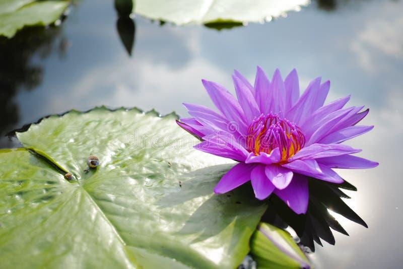 Όμορφο λουλούδι κρίνων νερού στοκ εικόνες