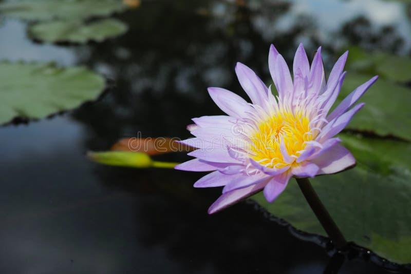 Όμορφο λουλούδι κρίνων νερού στοκ φωτογραφίες με δικαίωμα ελεύθερης χρήσης